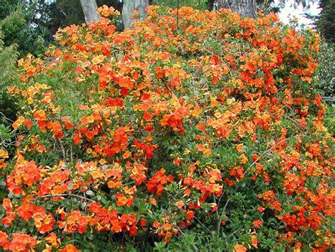Streptosolen Jamesonii  Marmalade Bush (fire Bush, Orange