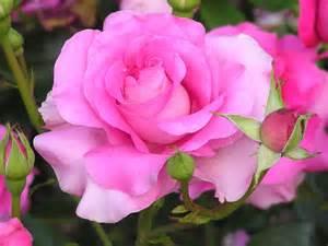 Pink Rose with Stem