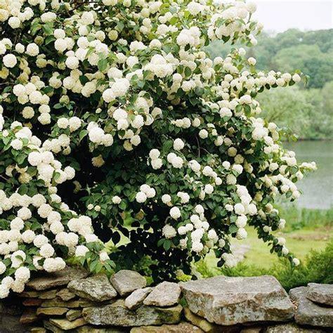 best flowering shrubs best flowering shrubs for hedges flowering shrubs viburnum opulus and shrub