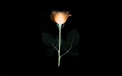 wallpaper  desktop laptop  flower xray simple minimal orange rose dark art illustration