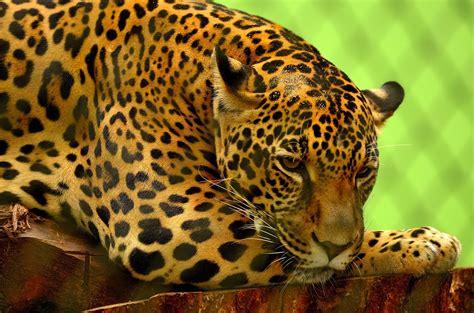 Jaguar Photo by Free Photo Jaguar Big Cat Carnivore Feline Free