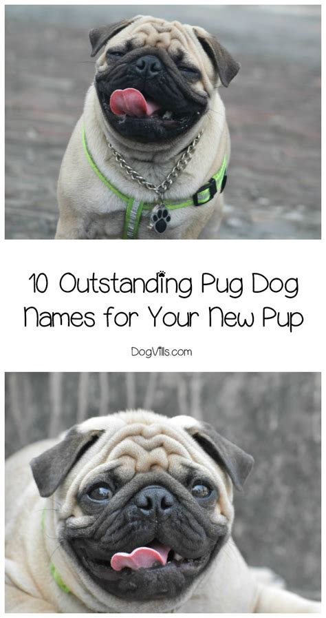 outstanding pug dog names   sweet pooch dogvills
