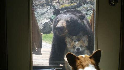 dog meets black bear  front door life  dogs