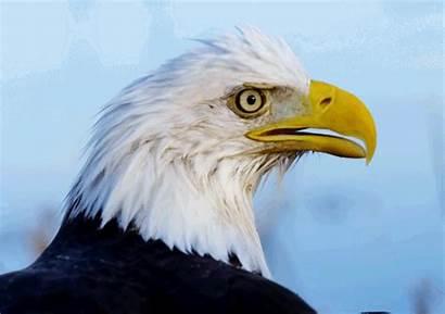 Bald Eagle Eagles Gifs Giphy Birds Fly