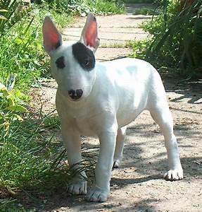 Bull Terrier - Razas de perros | Mascotas