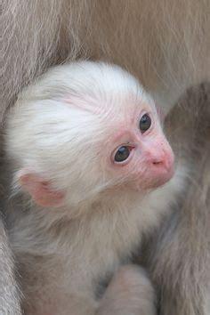 white primates images primates albino animals