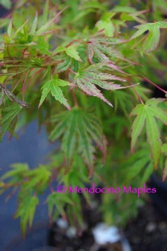 japanese maple species japanese maple tree varieties mendocino maples nursery