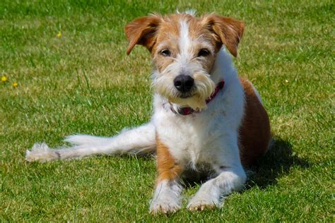 kromfohrlander dog breed information pictures