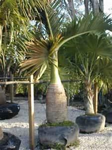 Palmera botella, Palma botella, Mascarena Hyophorbe lagenicaulis