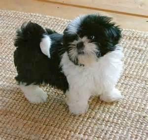 Black and White Shih Tzu Puppy