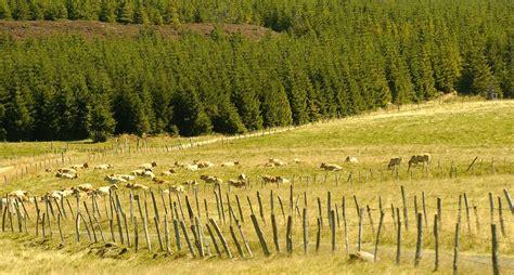 les chalets de l aubrac photo troupeau de vaches sur le plateau de l aubrac 1709 diaporamas images photos