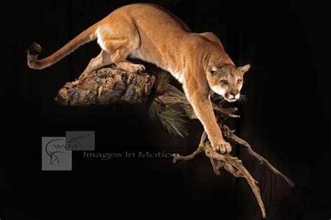 mountain lion taxidermy google search coltens country