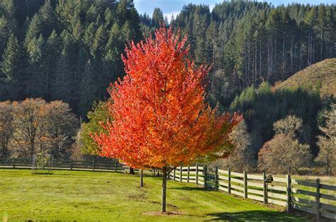 maple tree jenny steffens hobick new maple trees october glory maple trees
