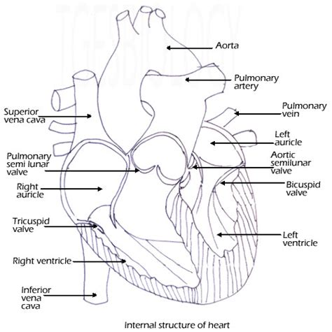 44 Heart Diagram Worksheet, Pics Photos Heart Diagram Worksheet Blank Artgumboorg