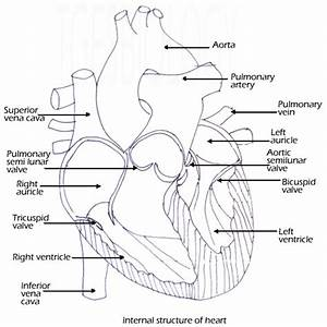 C  Circulatory System