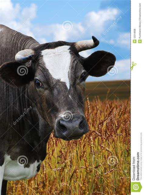 Cow Pasture Wallpaper