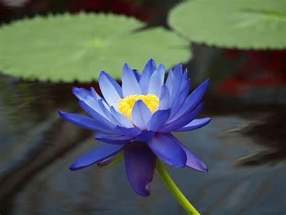 Lotus Wallpapers Flowers