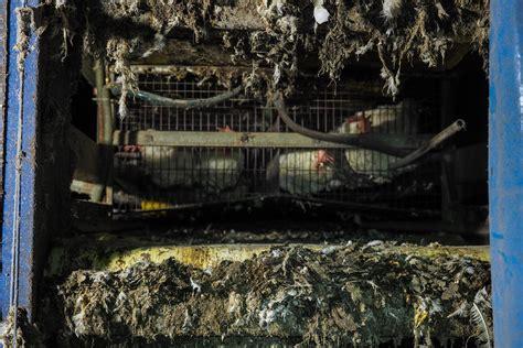 Allevamento Galline Ovaiole In Gabbia - una vita in gabbia il crudele destino delle galline