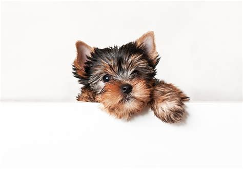 Yorkie Puppies Images Teacup Yorkie Puppies Dogtime