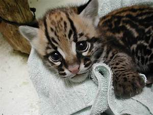 Baby ocelots are probably the cutest kittens in the world ...