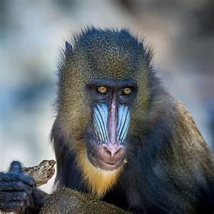 Mandrill (Mandrillus sphinx)   about animals