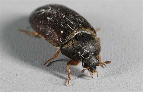 Black Carpet Beetles, Horse Barns And Maggot Management Carpet Binding Christchurch Beetle Life Cycle Uk Vax Shampoo Asda Kingwood Cleaning Waukesha Wi How To Eliminate Vomit Smell From Commercial Grade Berber Replacing Boat With Vinyl