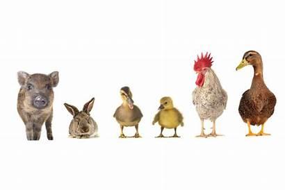 Animals Farm Kinds Clostridium Butyricum Levamisole Animal
