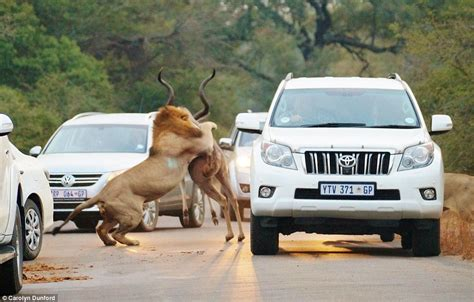Lions Catch Antelope Inches From Stunned Tourists In
