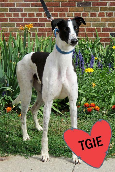 stan jax greyhounds male adopt sire pedigree