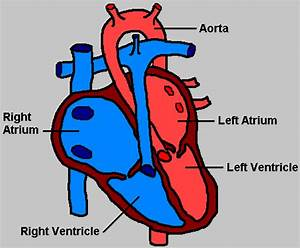 Human Heart Diagram Simple