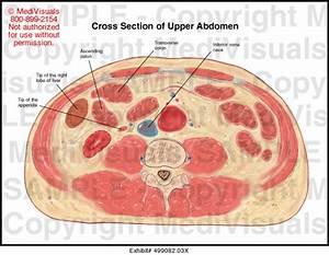 Cross Section Of Upper Abdomen Medical Illustration