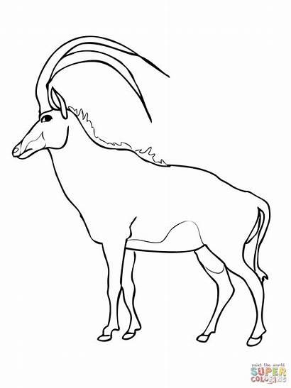 Antelope Coloring Sable Springbok Pages Savannah Oryx