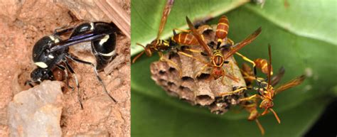bed bug control pest control wasps red wasp wwwe
