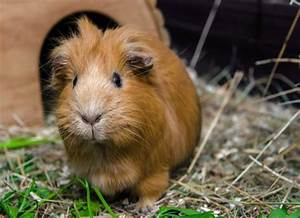 The Complete Guide To Guinea Pigs