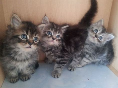 Kittens For Sale by Kittens For Sale West Pets4homes