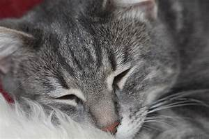 Marble Gray Tabby Cat Photograph by Donna Munro