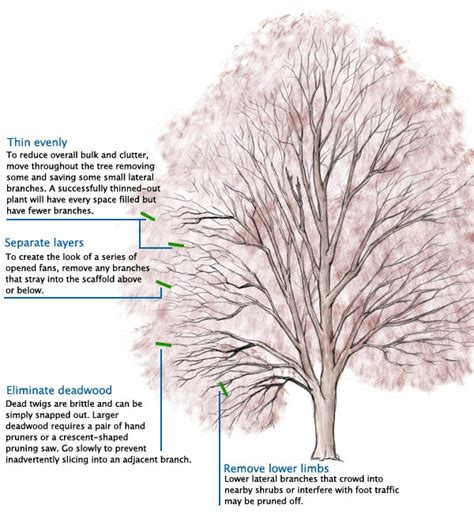 how to shape a maple tree pruning japanese maples finegardening