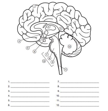 image result  blank brain diagrams  fill  brain