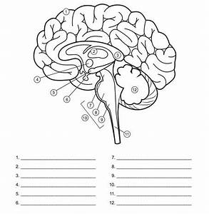 Image Result For Blank Brain Diagrams To Fill In