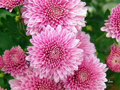 Flowers Chrysanthemum Wallpapers 1600 1200 Resolutions Normal