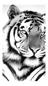 [71+] White Tiger Wallpaper Hd on WallpaperSafari