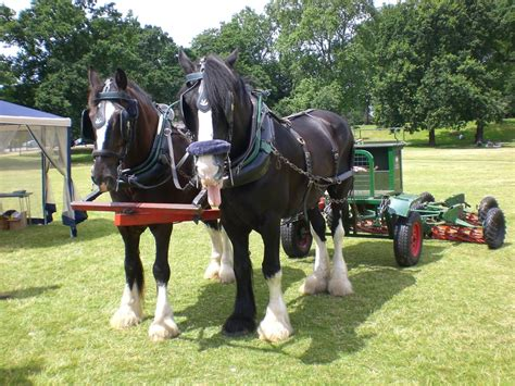 shire horse horses working breed shires riding history information ploughing horsebreedspictures