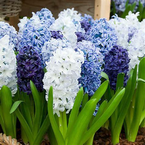 blue mix hyacinth bulbs buy bulk hyacinth bulbs at