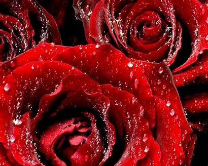 Wet Roses 1024 1280 Rose Wallpapers