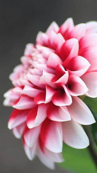 Flower Flowers Android Iphone Desktop Dahlia Phone
