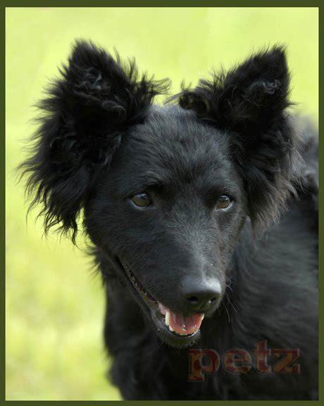 Mudi Mudi Hungarian Mudi Canis Ovilis Feneyesi