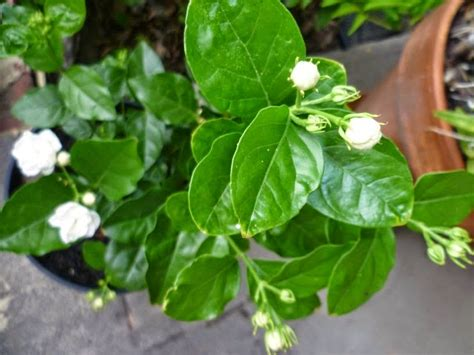 jual pohon melati putih jasminum sambac menur suplier