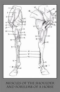 120 Best Images About Horse Anatomy And Physiology On