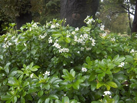 flowering hedges choisya ternata hedge mexican orange blossom informal boundary hedge typical hedge height 1