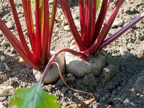A Guide To Root Vegetableschioggia Beet Red Skin